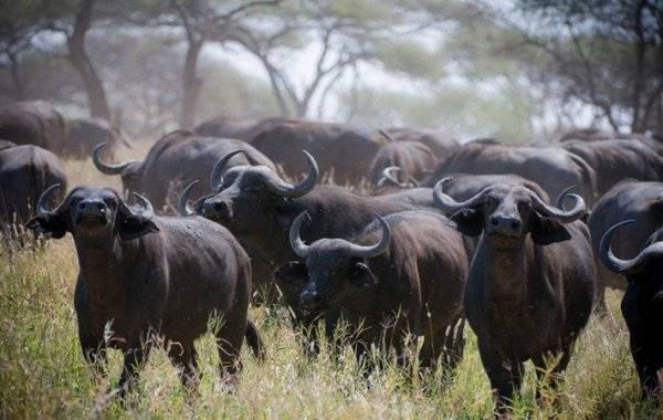 Обзор карликовых буйволов: самые маленькие виды. карликовые или мини буйволы
