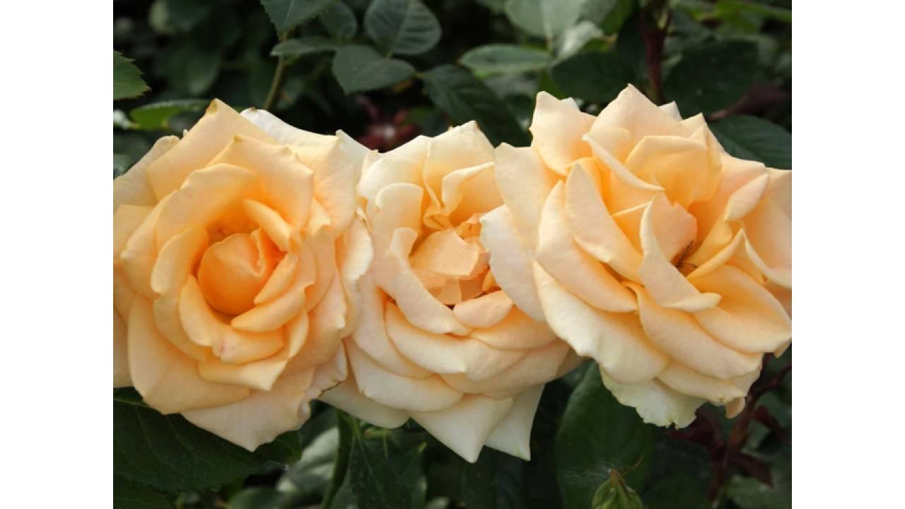 Розы чайно-гибридные: характеристика лучших сортов