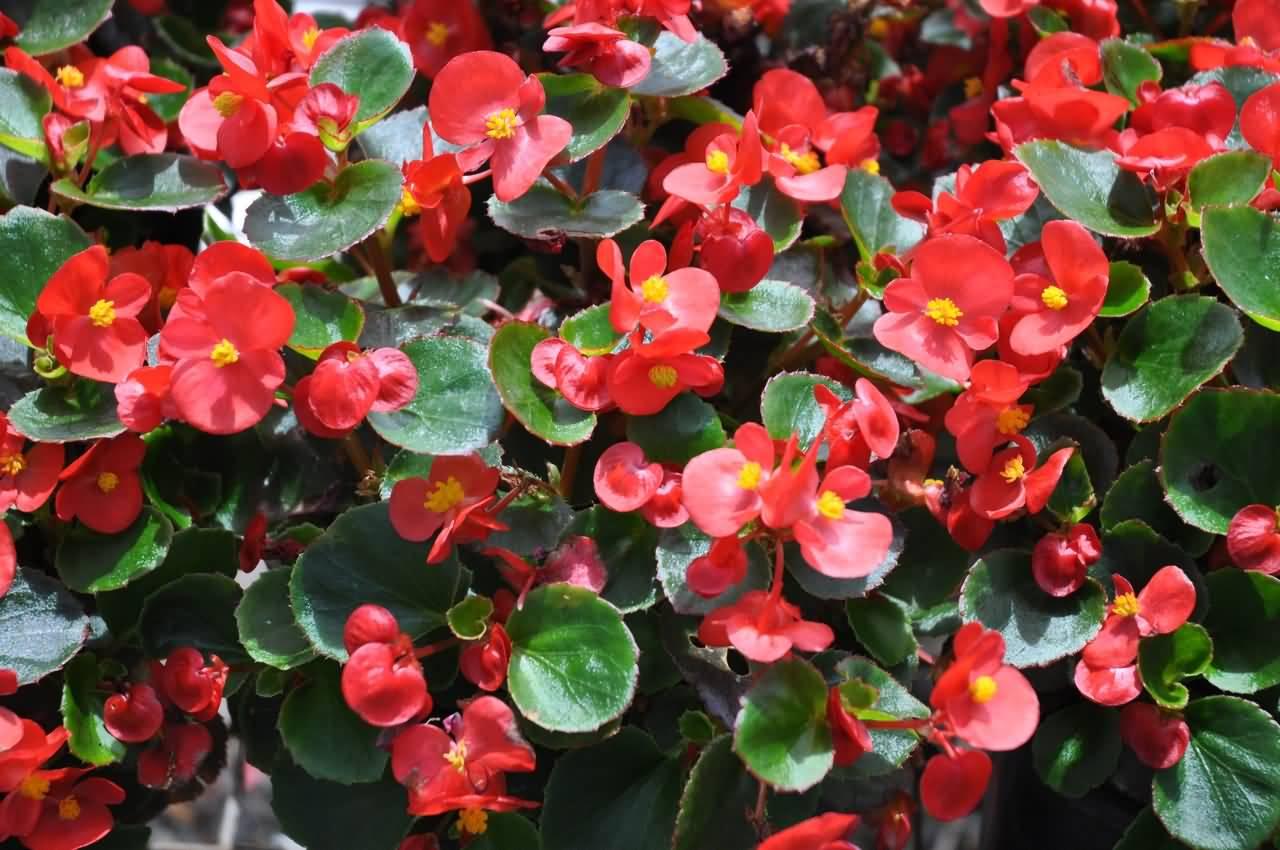 Бегония садовая – посадка и уход за цветком