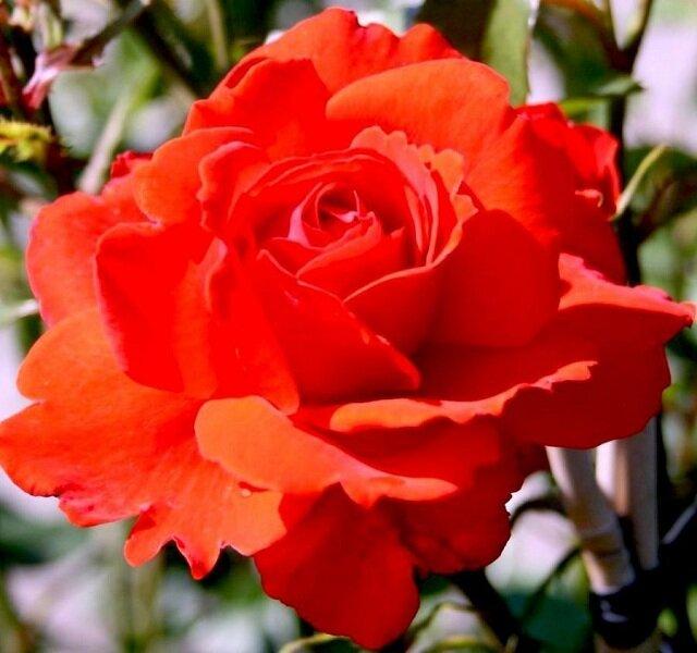 Розы кордеса: особенности, виды и выращивание