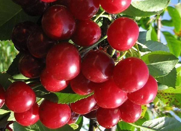 Подробное описание вишни сорта харитоновская: характеристики, фото, отзывы