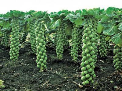 Как вырастить брюссельскую капусту?