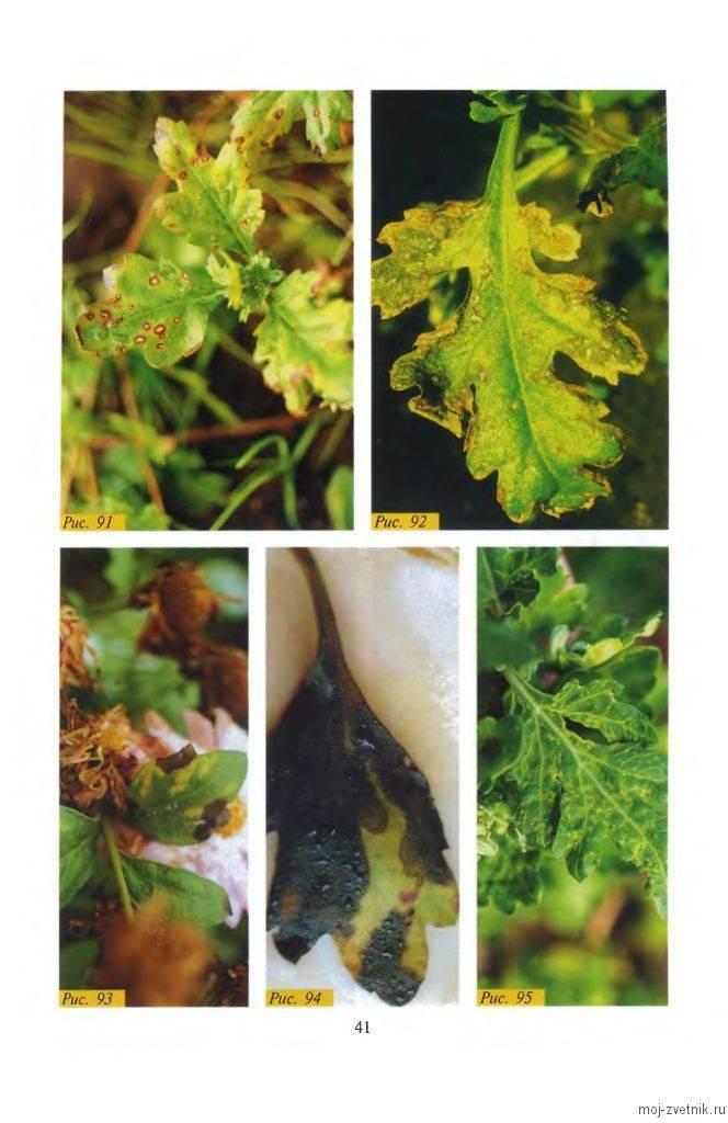 Болезни и вредители хризантем: причины, симптомы, способы борьбы