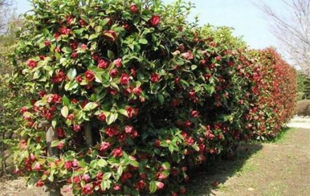 Пурпурноплодная японская малина теперь и в садах россии
