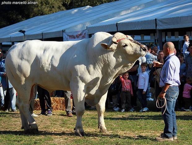 Все, что нужно знать о весе коров