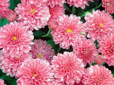 Хризантема садовая многолетняя: посадка и уход, фото, подготовка к зиме