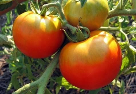Томат палка: описание и характеристика сорта, отзывы, фото, урожайность | tomatland.ru