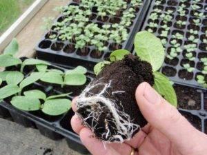 Как посадить тыкву в открытый грунт рассадой: правила высаживания рассады