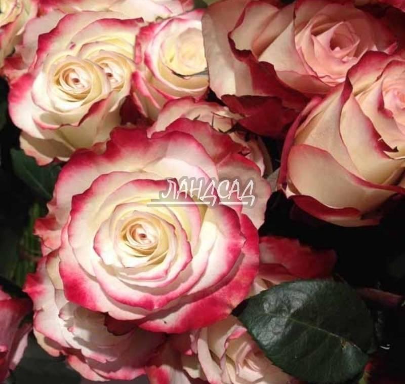 Роза sweetness: «сладкое» украшение вашего сада