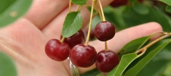 Черевишня: описание гибрида вишни и черешни, фото, посадка и уход