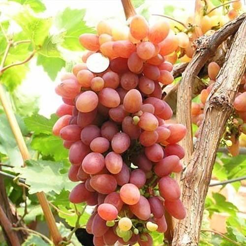 Как правильно и когда открывать виноград после зимовки