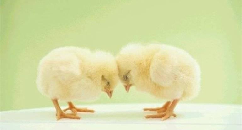 Что делать, если цыплята клюют друг друга