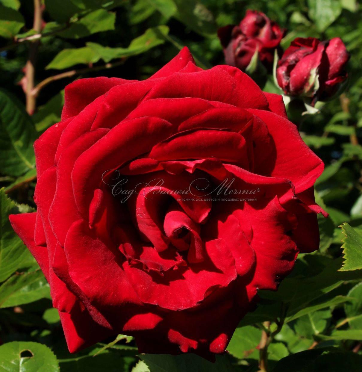 Чайно-гибридные розы – посадка, уход и особенности выращивания