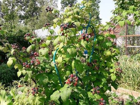 Черная малина: выращивание и уход. черная малина: полезные свойства