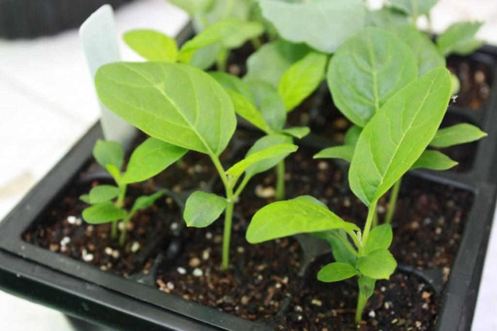 Чем удобрять баклажаны для роста после высадки в грунт?