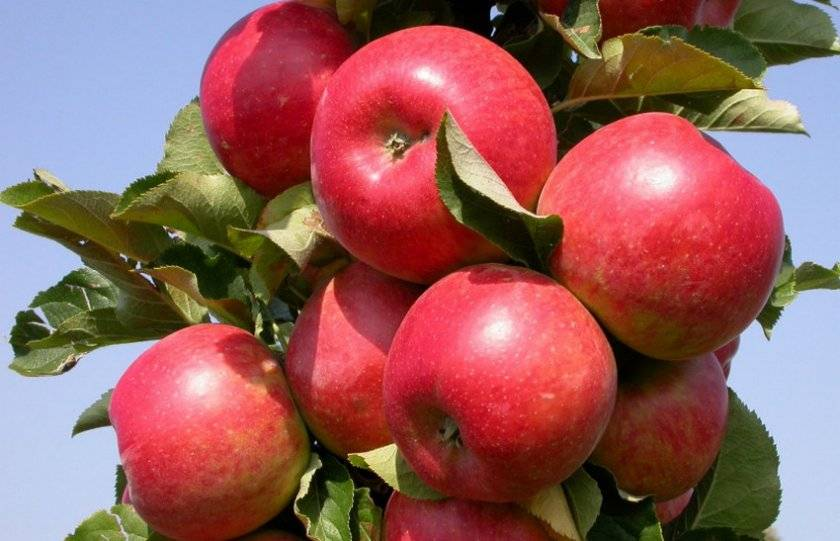Васюган яблоня колоновидная
