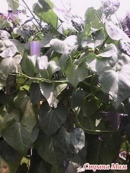 Ипомея батат (31 фото): посадка семян и уход за многолетним растением, использование в ландшафтном дизайне и выращивание в комнатных условиях, разновидности с резными листьями