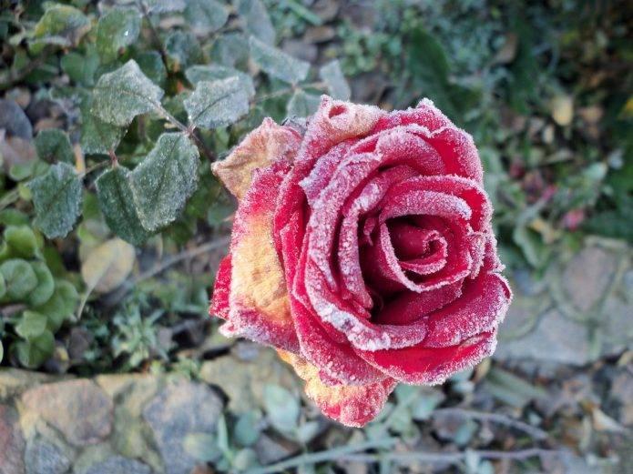 Черная пятнистость роз: инструкция по лечению болезни