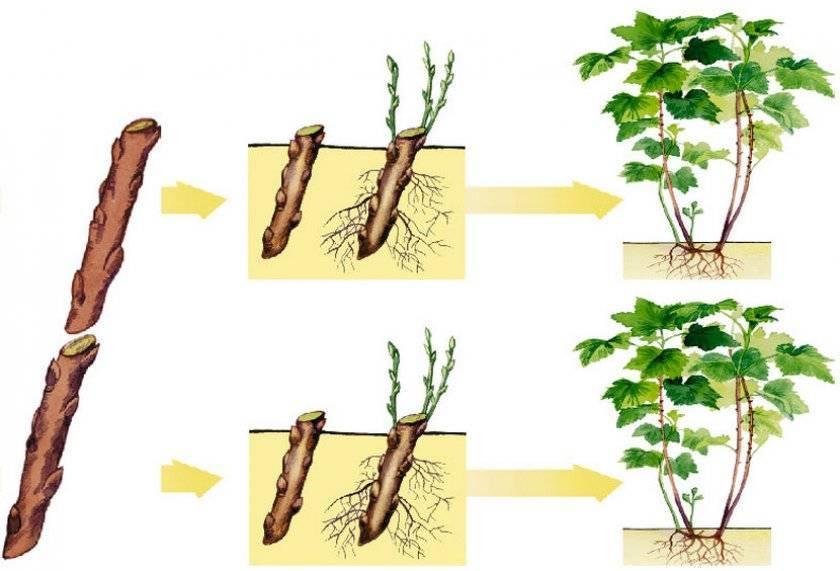 Смородина: размножение черенками весной в воде