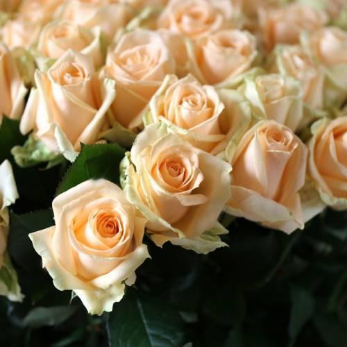 О розе Пич Аваланж (Peach Avalanche): описание и характеристики сорта