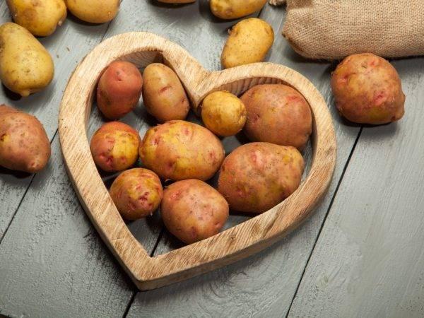 """Картофель """"минерва"""": описание сорта, фото, характеристики картошки и тактика выращивания"""