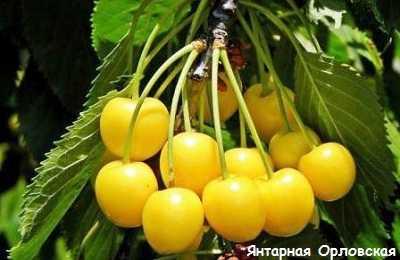 Сорта черешни районированные в беларуси