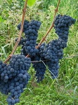 Сорт винограда мукузани: описание, агротехника выращивания
