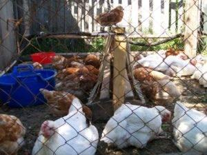 Цыплята и утята вместе в одном брудере