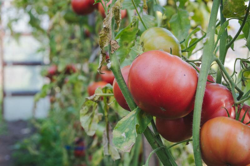Как обрывать у помидоров в теплице