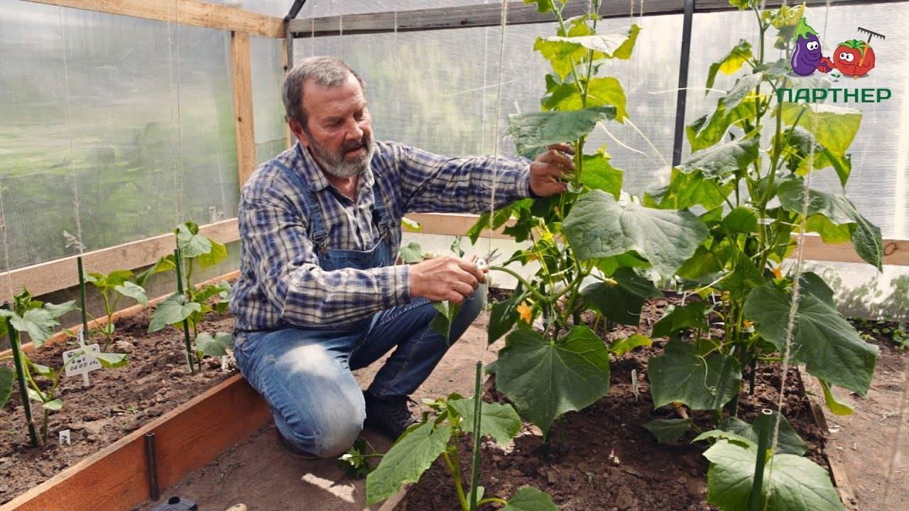 Выращивание огурцов в теплице от а до я