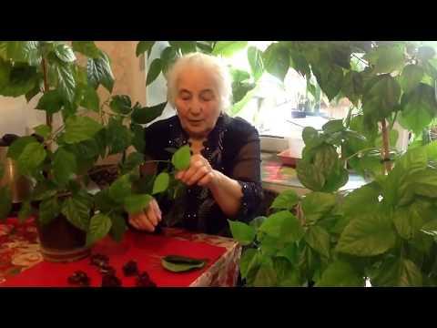 «цветок любви» на вашем участке — гибискус садовый: размножение и уход