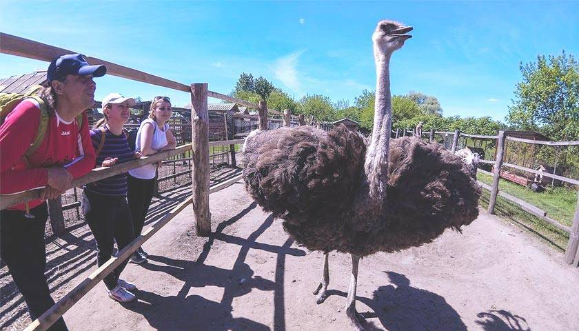 Ферма страусов: разведение в домашних условиях. с чего начать бизнес по выращиванию страусов (120 фото идей и советов)
