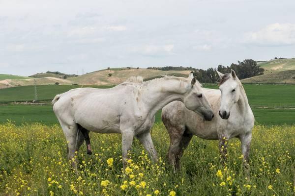 Случка и разведение породистых лошадей и коней