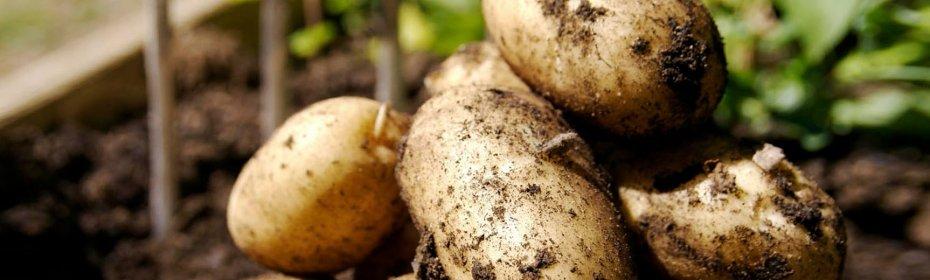Что можно сажать после картофеля на следующий год — таблица