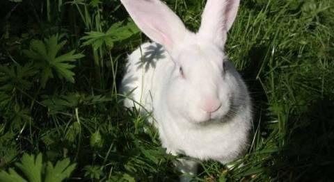 Кролик белый паннон