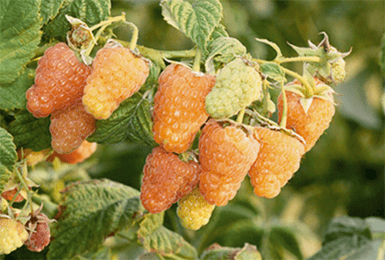 О малине Оранжевое чудо: описание сорта желтой малины, особенности по уходу