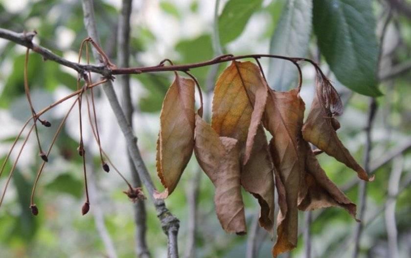 Что делать, если на вишне нет листьев?