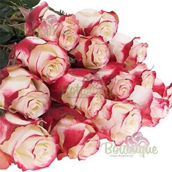 Особенности чайно-гибридной розы свитнесс: что это за повторноцветущий сорт
