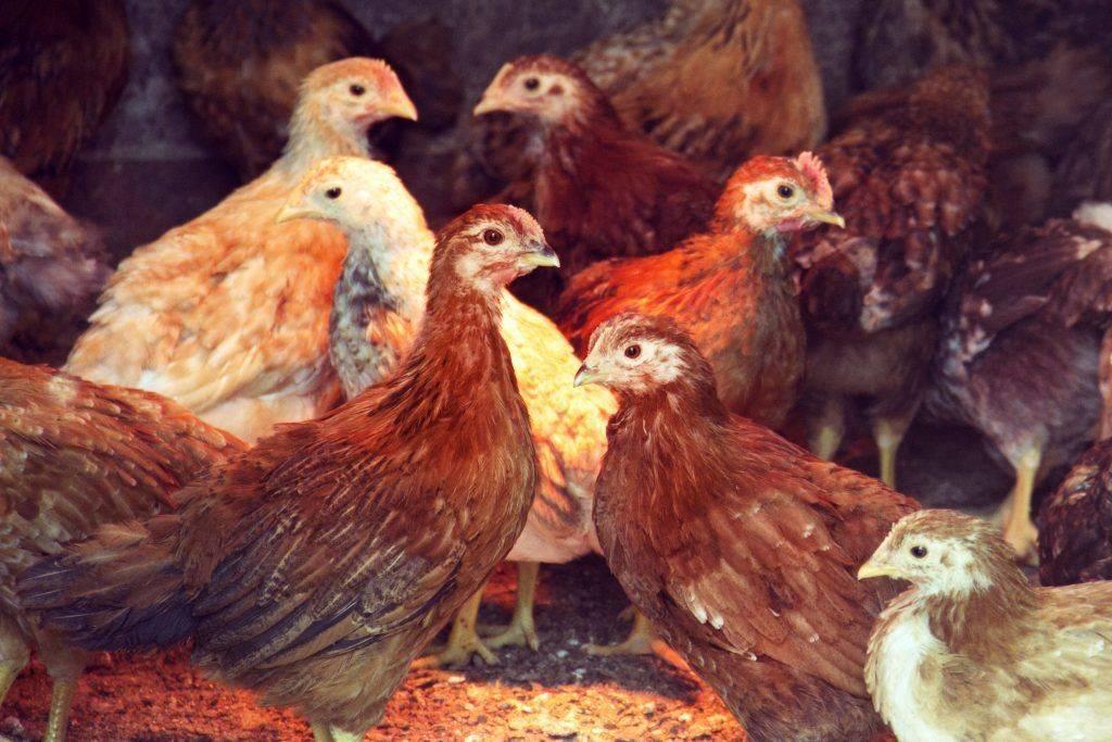 Что делать, если курица падает на ноги, обезноживает, заваливается на бок