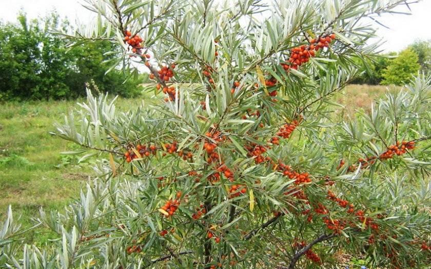 Как цветет облепиха: сорта, посадка и уход за деревом. 125 фото и видео облепихи на садовом участке