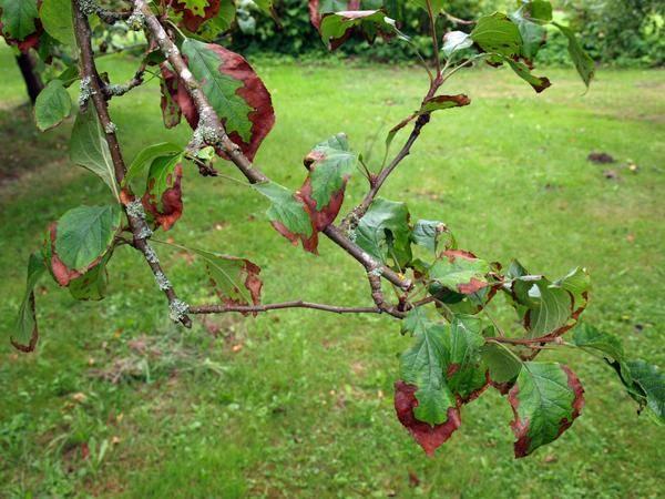 Вредители и болезни плодовых деревьев и кустарников: фото, обработка садовых растений от насекомых и заболеваний