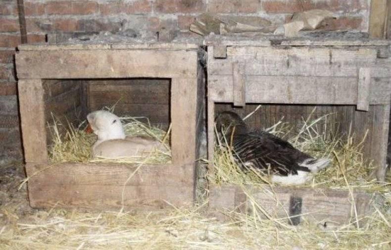 Содержание кур и уток вместе