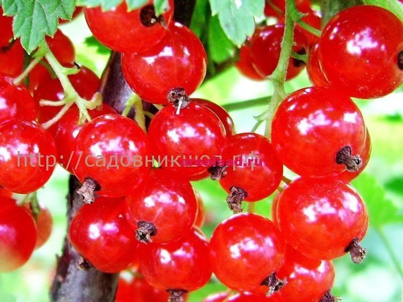Красная смородина уральская красавица: описание сорта, посадка и уход, отзывы