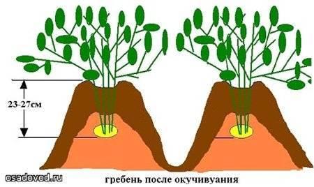 Как проводится посадка картофеля в гребни