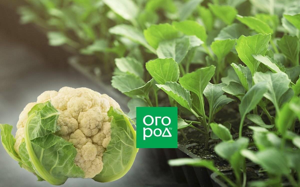 Как правильно сажать цветную капусту