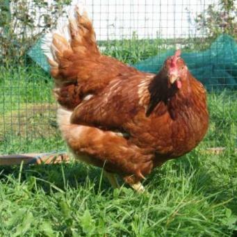 Как подселить новых цыплят в стадо без драмы?
