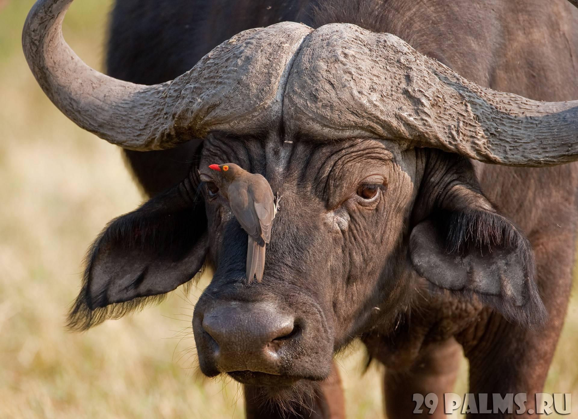16 самых больших быков мира