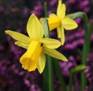 Нарциссы посадка весной и уход в открытом грунте