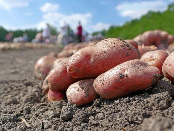 """Качественный картофель родом из германии """"рамос"""": описание сорта, характеристика и фото"""