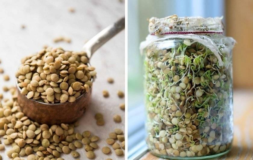Как и какую чечевицу можно проращивать дома для еды